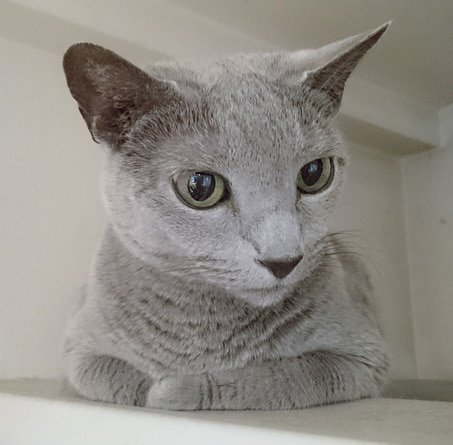 Russian Blue cat in a white room lying on a shelf