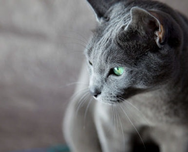 Russian Blue cat with big green eyes in profile