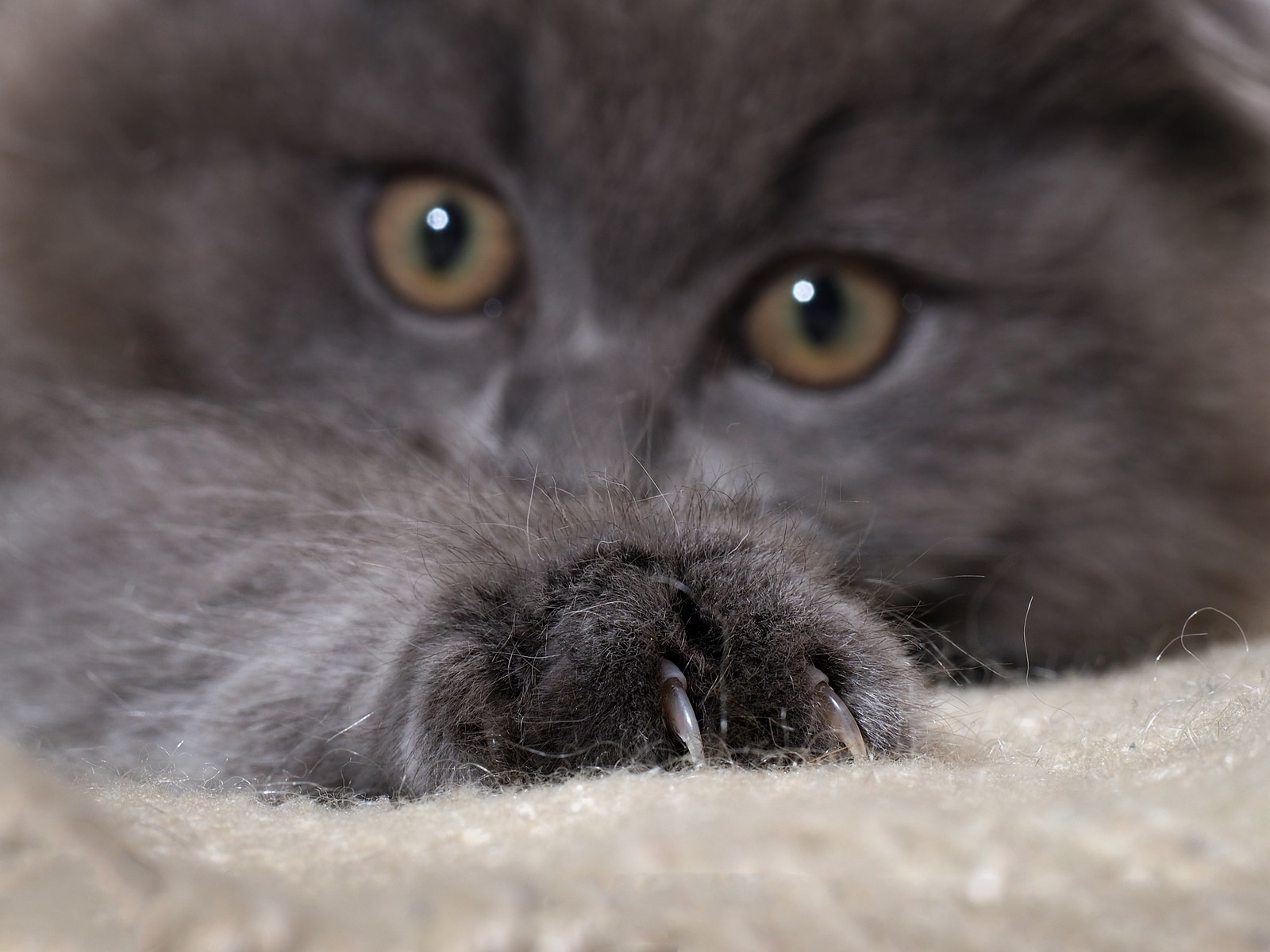 Fluffy dark gray cat lying down with claws extended into carpet. The fur is gray fluffy
