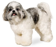 The Shih Tzu Dog Breed