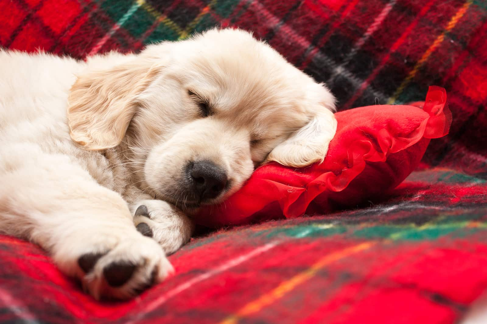 Golden retriever puppy asleep on red flannel blanket.