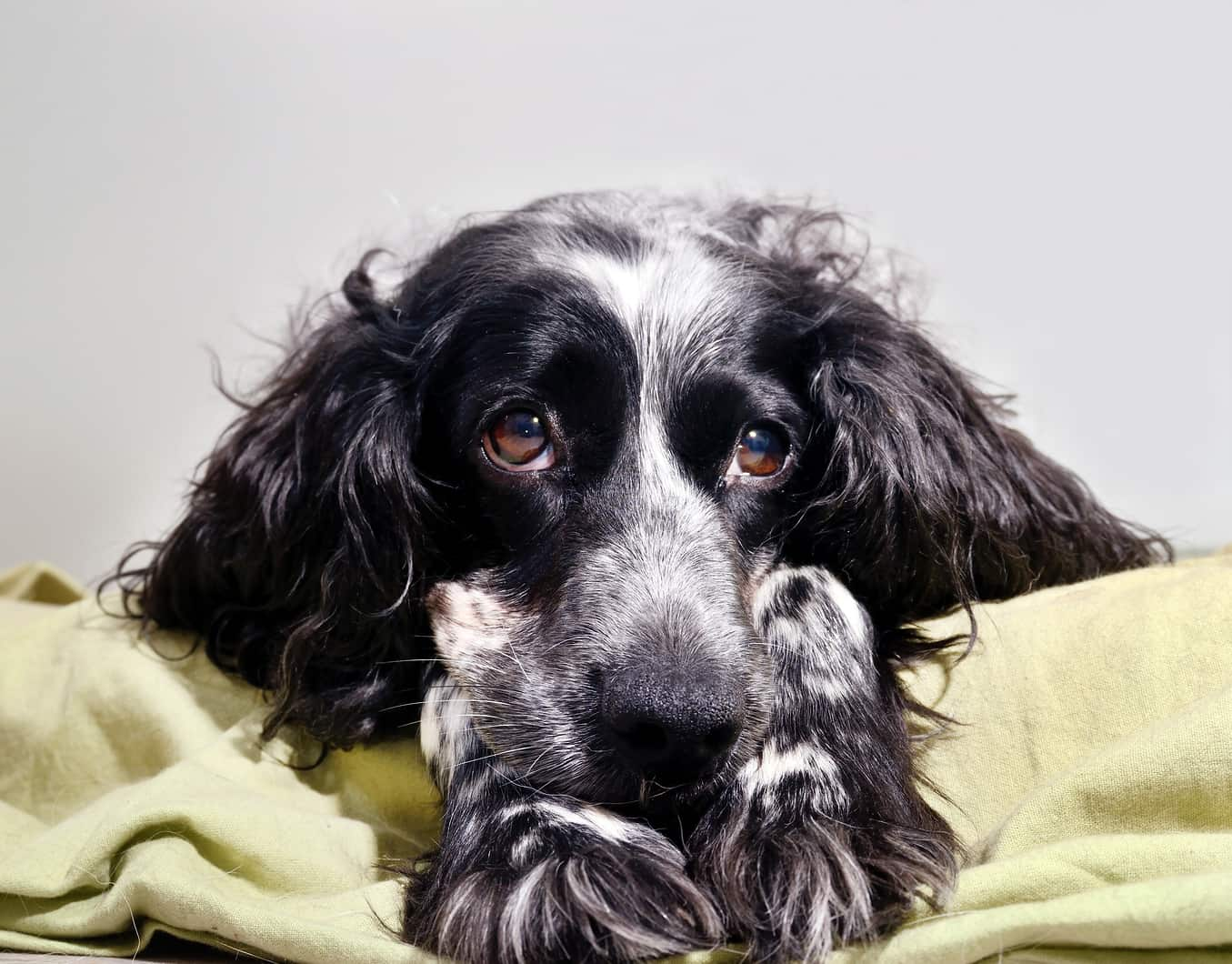 Sad English spaniel on a bed