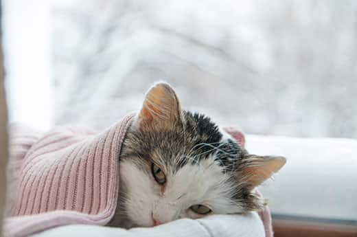 Cay lying beneath pink blanket next to a window with a wintery scene outside.