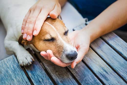 Person holding the head of a Jack Russell terrier lying on a deck.