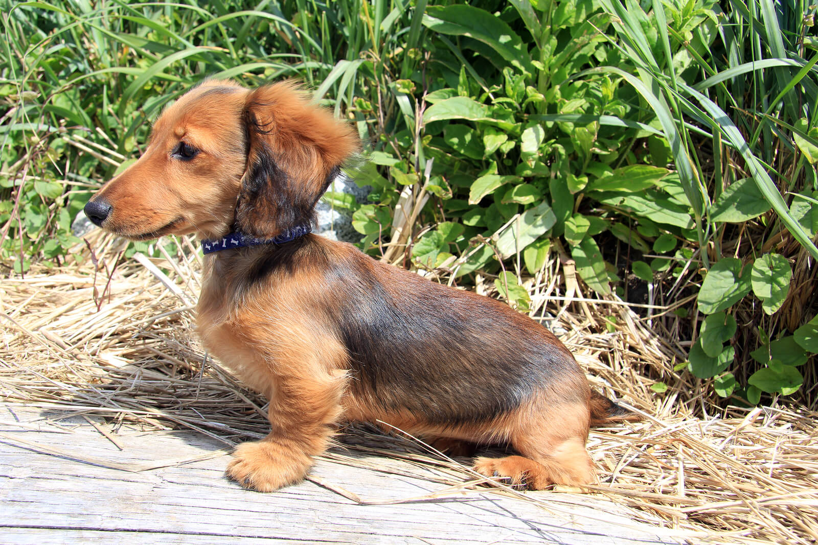 Brown longhair dachshund puppy outside.